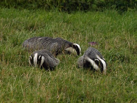 badgers-3790321__340